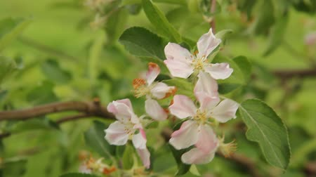 apple blossoms with birds singing in the background