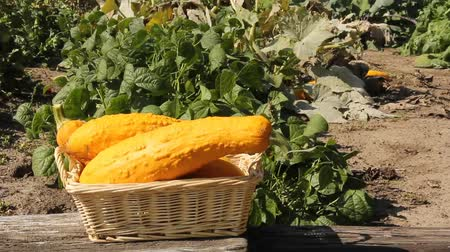 yellow gourds in a wicker basket with a garden in the background