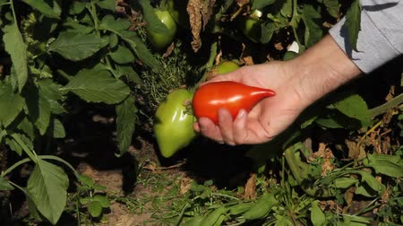 tomate : Gardener picking ripe tomatoes