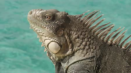 Iguana Close Up with ocean background Stok Video