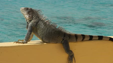 iguana : Iguana sunning on a sea wall