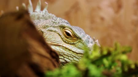lerdo : Big green iguana in terrarium Stock Footage