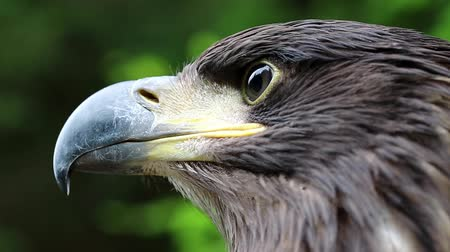 бдительный : Head of sea eagle close up. Female sea eagle, bird of prey Стоковые видеозаписи
