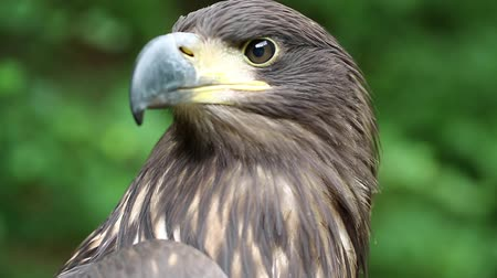 бдительный : Female eagle, bird of prey. Sea eagle close up