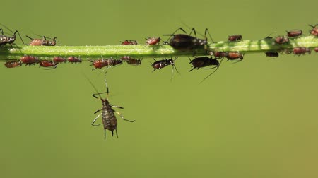 aphidoidea : Aphids also known as plant lice and as greenflies whiteflies or blackflies are small sap sucking insects and members of the superfamily Aphidoidea. Aphids are among the most destructive insect pests on cultivated plants in temperate regions. The damage th Stock Footage