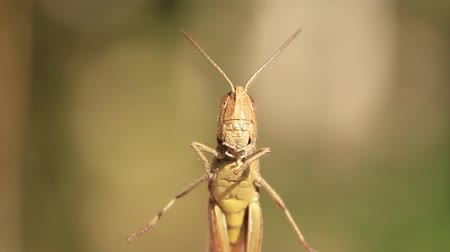 rind : The grasshopper is an insect of the suborder Caelifera in the order Orthoptera. To distinguish it from bush crickets or katydids it is sometimes referred to as the short-horned grasshopper. Species that change colour and behaviour at high population densi Stock Footage