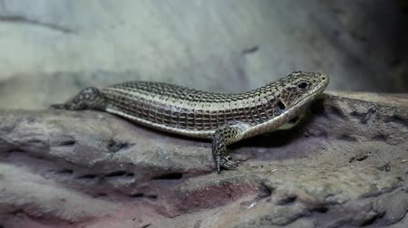 vivarium : Gerrhosaurus - plated lizard in vivarium for reptiles. Gerrhosauridae - family of lizards native to Africa or Madagascar, live in a range of habitats, from rocky crevices to sand dunes