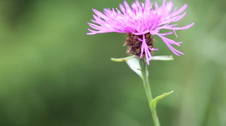 compositae : Brown knapweed or Centaurea jacea - purple flower in Carpatian mountains