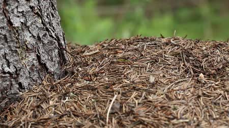 formicidae : Ants in big anthill in forest Stock Footage