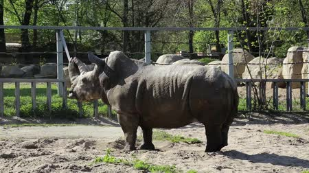 rhinocerotidae : Big rhinoceros in zoological garden