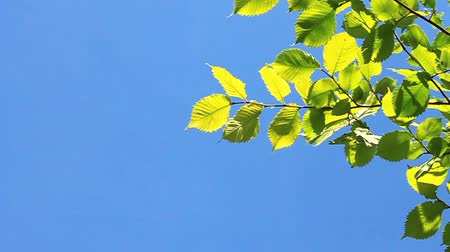 esinti : Green leafs on blue background Stok Video