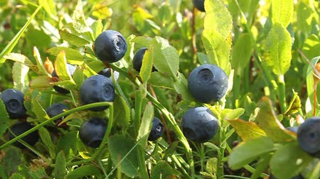 subtítulo : Bilberry bush with ripe berryes and green leafs