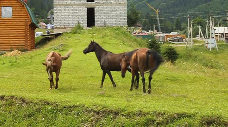 stock raising : Horses on green meadow Stock Footage