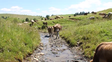 livestock sector : Herd of cows by small river