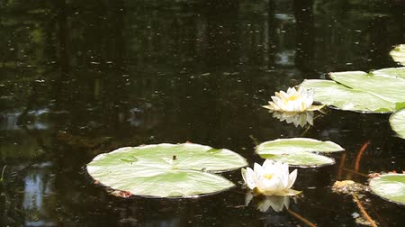 olhando a câmera : White water lily with big green leafs