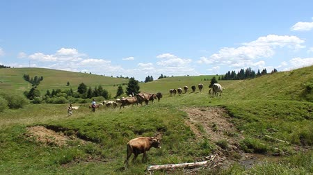 livestock sector : Cows and beautiful nature in Carpathian Mountains