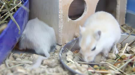 gnawer : White and grey rats in cage