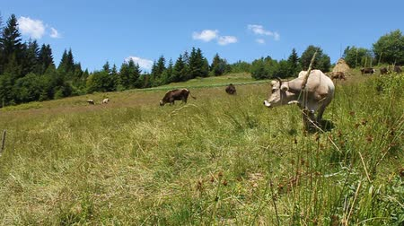 livestock sector : Cows on green meadow