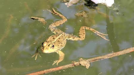 anura : Green frog in water Stock Footage