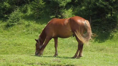 stock raising : Beautiful horse eating green grass Stock Footage