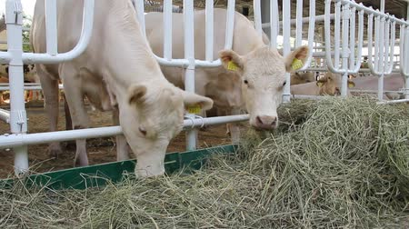 livestock sector : Cows on stock-farm