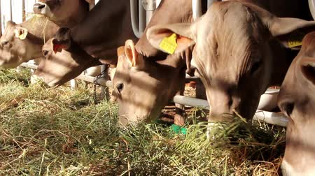 livestock sector : Cows eat a hay on livestock farm