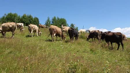 livestock sector : Cows on beautiful nature
