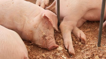 smoczek : Pigs sleeping on livestock farm
