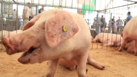 smoczek : Pigs on livestock farm. Pig farming