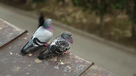 Couple of pigeons sits together on the edge of the roof. Two pigeons sits on the roof and look down at people Стоковые видеозаписи