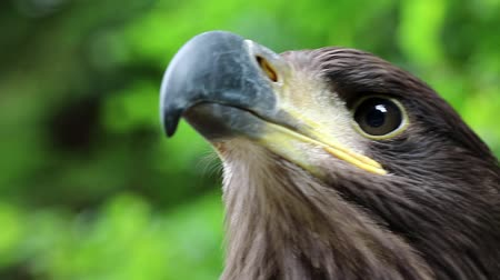 бдительный : Eagle head close up. Female sea eagle, bird of prey