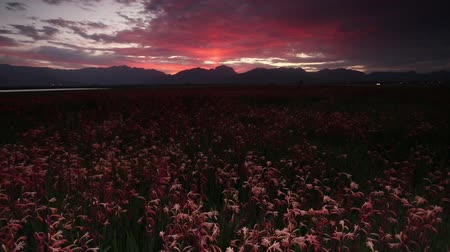 garden route : Wide angle view of an amazing sunset over a field of watsonia flowers in South Africa.