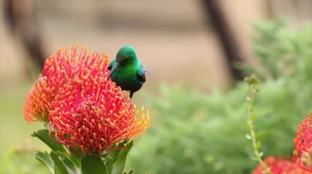 sunbird : Close up footage of a malachite sunbird drinking nectar out of a pincushion protea in the fynbos area of south africa