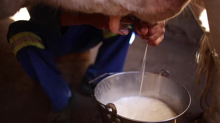 smoczek : Close up footage of a cow being milked by hand into a bucket on a cattle farm in south africa