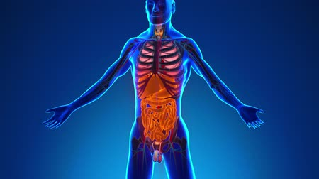 decomposition : Anatomy of Human Digestive System  Medical XRay Scan Stock Footage