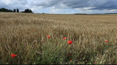 owies : Barley and Oat Field
