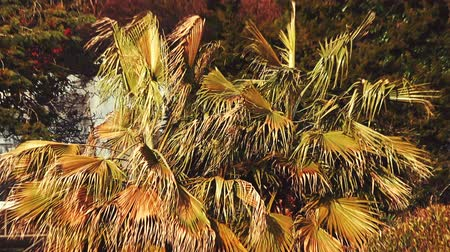fenomen : Palm tree withered from the heat on the tropical coast and dried leaves are swaying in the wind.