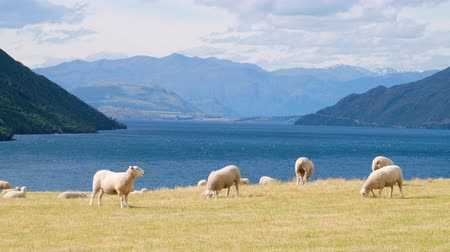 The beautiful scenery next to the lake with the mountain view. A flock of sheep grazing on a yellow meadow.