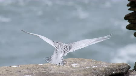 bird learning : A White-fronted tern chick, New Zealand bird is flying on the rock.