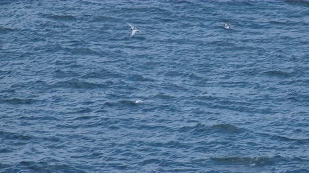aves : White-fronted tern, New Zealand bird is hunting the fish in the ocean. Stock Footage