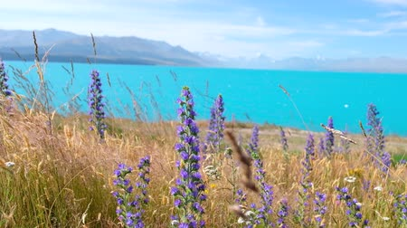 Lunpin Flower with lake and snow mountain background. New Zealand. 4K Video Stock mozgókép