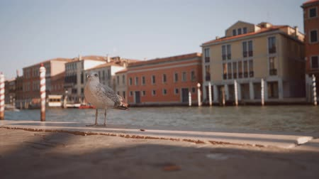 sea bird : Seagull in Venice, Italy Stock Footage
