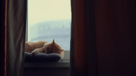 suíças : Sleeping red cat on the window in winter