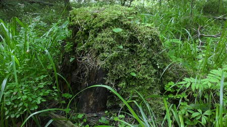 decomposition : Stump with moss in the forest Stock Footage