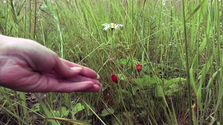 plucks : The female hand plucks a berry strawberries in the meadow