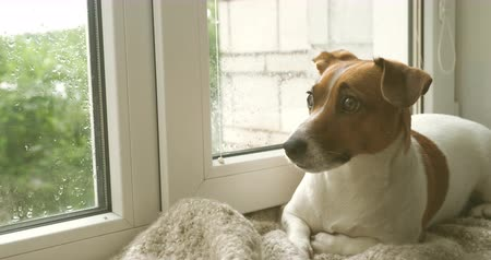 chuva : Cute dog jack russell terrier lying on the window and waiting for the owner.
