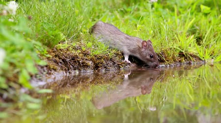 rodent control : rat by the water