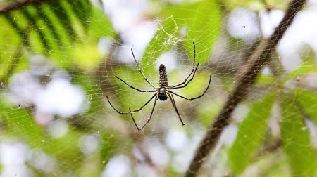 cross spider : Golden silk orb-weaver