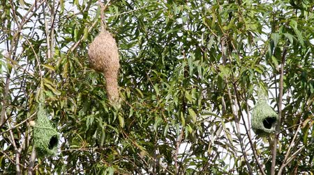 baya : birdhouses hanging from the Baya Weaver in the forests of Thailand Stock Footage