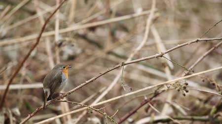 druh : an European Robin is looking for dangerous on an tree